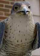 Falcon (Stuart Little)