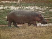 Hippopotamus in Tarzania