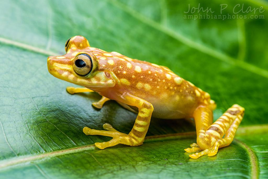 Imbabura Tree Frog