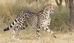 King Cheetah.jpg