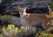 Mountain-Lion-in-Utah-Costa-Rica.jpg