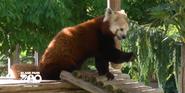 Blank Park Zoo Red Panda