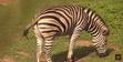 Canberra Zoo Zebra