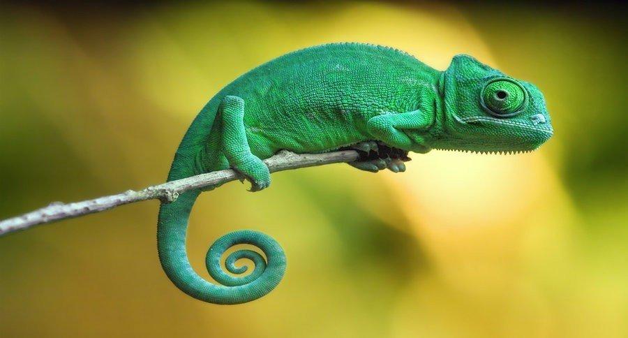 Common Chameleon
