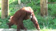 Columbus Zoo Orangutan V2