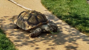 Columbus Zoo Spurred Tortoise