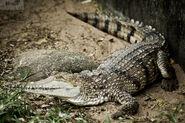 Crocodile, Freshwater