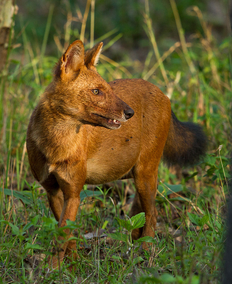 Southern Dhole