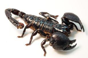 Female Emperor Scorpion.jpg