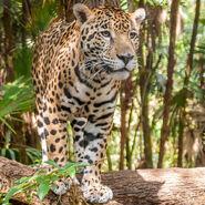 Jaguar (V2)