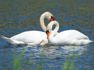 Male and Female Mute Swans