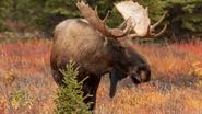 Moose, Western