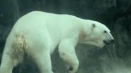 Seneca Park Zoo Polar Bear V2