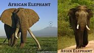 African Elephants and Asian Elephants Differences
