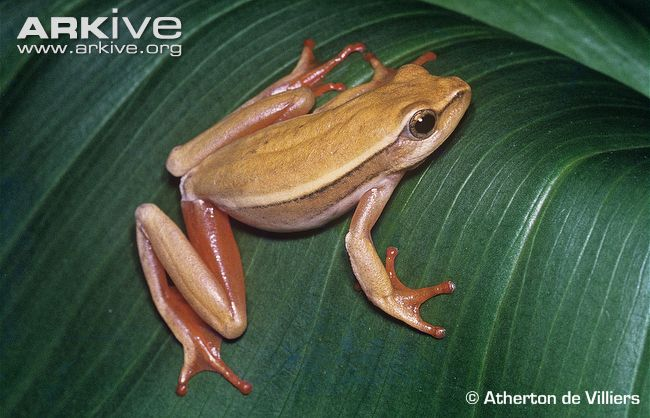 Arum Lily Frog