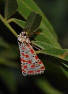 Crimson Speckled