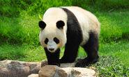 Giant-panda-shutterstock 86500690