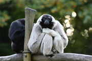 Gibbon, Pileated.jpg