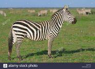 Grant's zebra stallion