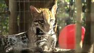 Greenville Zoo Ocelot