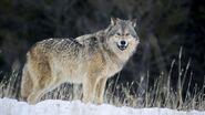 Grey Wolf (V3)