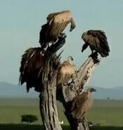 HugoSafari - Vulture07