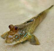Mudskipper (Periophthalmus spp.)