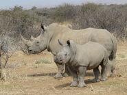 Namibia White Rhinos