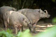 North Sulawesi babirusa boar and sow