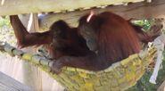 Orangutan utah's hogle zoo
