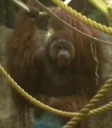 Racine Zoo Orangutan