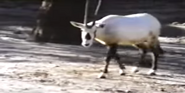 Sesame Street Oryx