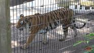 Zoo World Panama Tiger