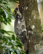 Colugo (Galeopterus variegatus, adult female), Central Catchment Area, Singapore - 20060618