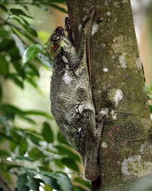 Colugo (Galeopterus variegatus, adult female), Central Catchment Area, Singapore - 20060618.jpg