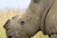Dehorned White Rhinoceros