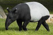 Malayan-Tapir