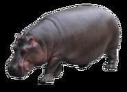 NatureRules1 Hippo