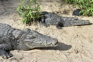 Nile Croc Bull and Cow