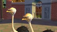 Ostriches MVG