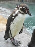Penguin, Humbolt