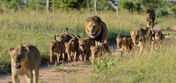 Pride of African Lions