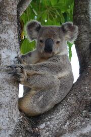 Queensland Koala, 2009.jpg