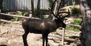San Diego Zoo Reindeer