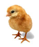 Sxc baby chick