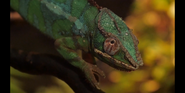 Toledo Zoo Chameleon