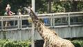 Virginia Zoo Giraffe