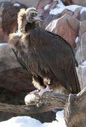 Vulture, Cinereous
