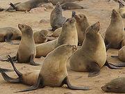 250px-Arctocephalus pusillus (Cape fur seals).jpg