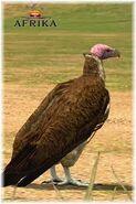 Afrika Vulture